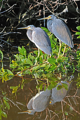 Photograph - Tricolored Heron Pair by Alan Lenk