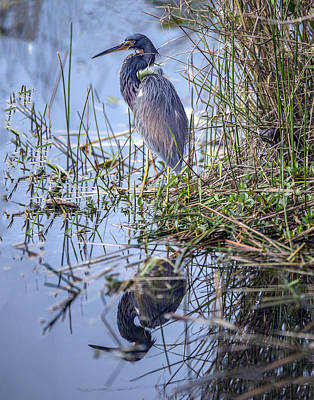 Photograph - Tricolored Heron Reflection by William Bitman