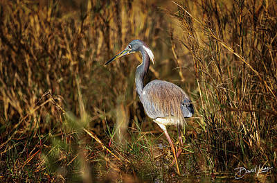 Photograph - Tricolored Heron Strut by David A Lane