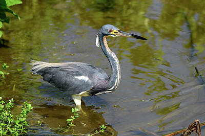 Photograph - Tricolored Heron Wade Fishing by Debra Martz
