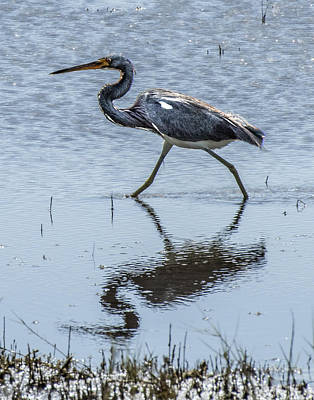 Photograph - Tricolored Heron Walking by William Bitman