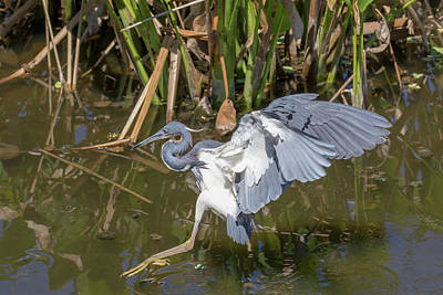 Photograph - Tricolored Heron Walks On The Water by Phil Stone