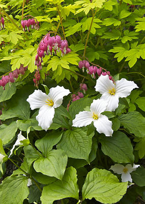 Trillium And  Bleeding Hearts 1081 Art Print by Michael Peychich