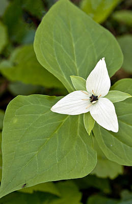 Photograph - Trillium And Friend by Shari Jardina
