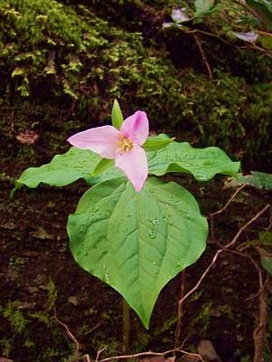 Photograph - Trillium by Angi Parks