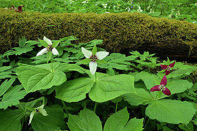 Photograph - Trillium By Log by Alan Lenk