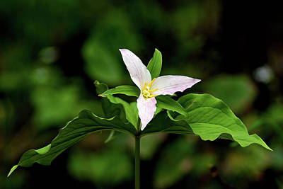 Photograph - Trillium Flower by Craig Strand
