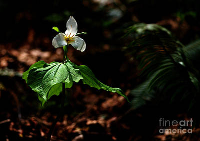 Trillium In The Woods Art Print by Sharon Talson