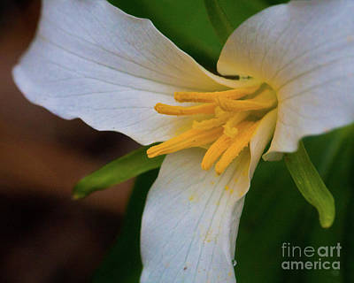 Photograph - Trillium by Katie LaSalle-Lowery