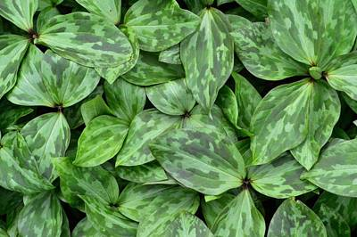 Photograph - Trillium Leaf Quilt #1 by Photography by Tiwago