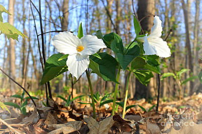 Photograph - Trillium Ontario Provincial Flower by Charline Xia
