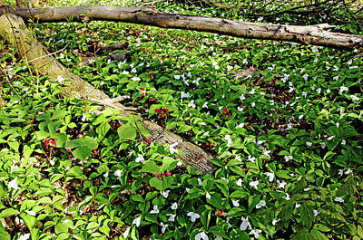 Photograph - Trillium Patch by Debbie Oppermann