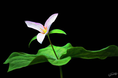 Photograph - Trillium Star by Dee Browning