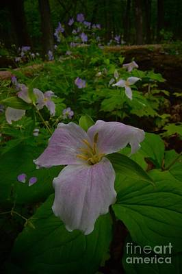 Photograph - Trillium by Photography by Tiwago