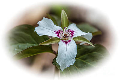 Photograph - Trillium Trek by Grace Grogan