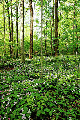 Photograph - Trillium Woods II by Debbie Oppermann
