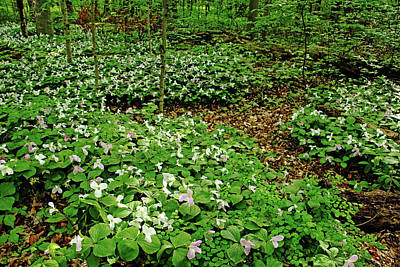 Photograph - Trillium Woods Iv by Debbie Oppermann