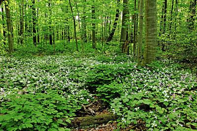 Photograph - Trillium Woods Vi by Debbie Oppermann