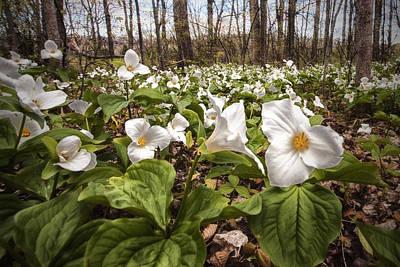 Photograph - Trilliums by CA  Johnson