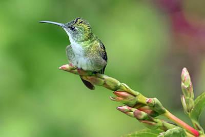 Photograph - Trinidad Hummingbird by Nadia Sanowar