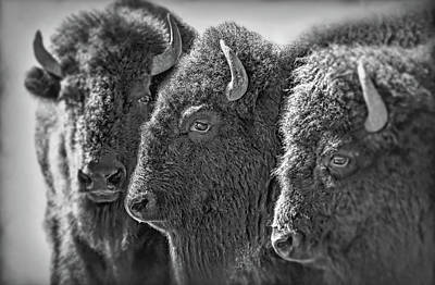 Photograph - Trio American Bison Black by Jennie Marie Schell