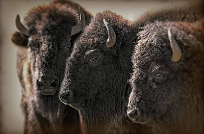 Photograph - Trio American Bison by Jennie Marie Schell
