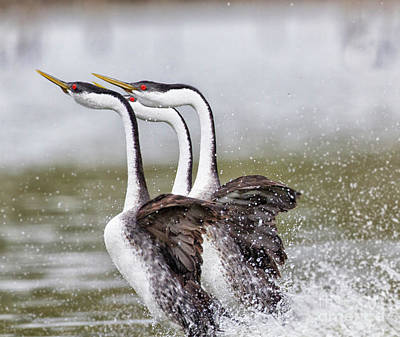 Unicorn Dust - Grebe trio as they rush by Ruth Jolly