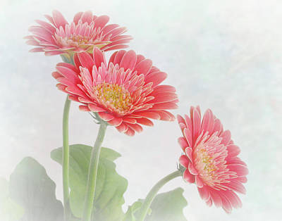 Photograph -  Trio Of Coral African Daisies by David and Carol Kelly