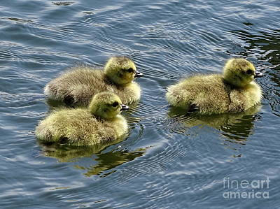 Photograph - Trio Of Cygnets by Ed Weidman