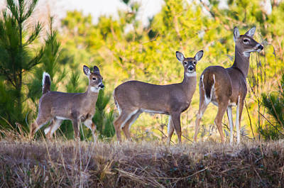 Twin Tailed Photograph - Trio Of Deer by Parker Cunningham