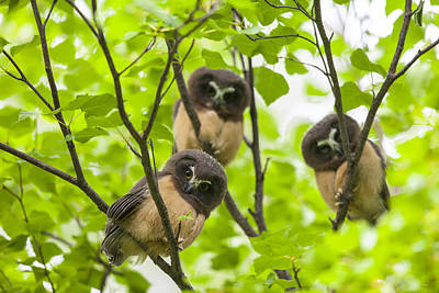 Whet Owl Photograph - Trio Of Fledglings by Tim Grams