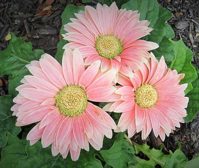 Photograph - Trio Of Gerbers by Jeanette Oberholtzer
