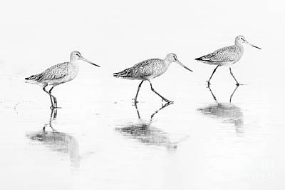 Photograph - Trio Of Godwits by Sonya Lang