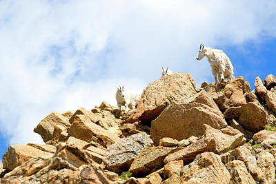 Photograph - Trio Of Mountain Goats by Steve Krull