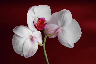 Phalaenopsis Photograph - Trio Of Orchids by Tom Mc Nemar