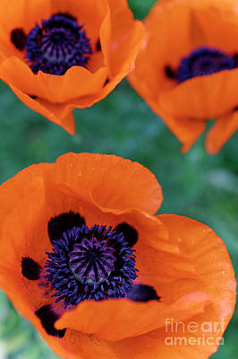 Photograph - Trio Of Poppies by John  Mitchell
