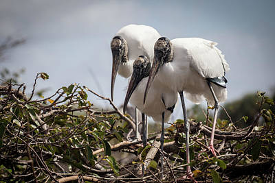 Photograph - Trio Of Wood Storks by Jim Gillen