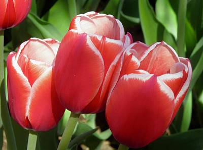 Photograph - Trio Of Tulips by Stephanie Moore