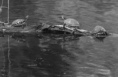 Photograph - Trio Of Turtles Sunning - Black And White by Suzanne Gaff