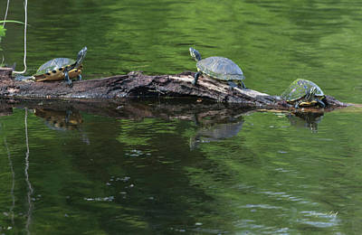 Photograph - Trio Of Turtles Sunning by Suzanne Gaff