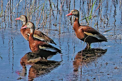 Photograph - Trio Of Whistlers by HH Photography of Florida