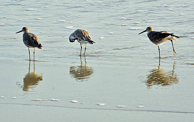 Photograph - Trio Of Willets On Jekyll by Bruce Gourley