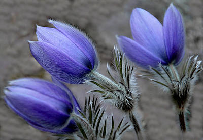 Pasque Flower Digital Art - Trio Pulsatillas by Liya Boge
