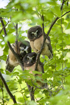 Whet Owl Photograph - Triple Cute Saw-whet Owls by Tim Grams