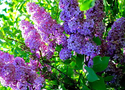 Photograph - Triple Pink Lavender Lilacs by Karon Melillo DeVega