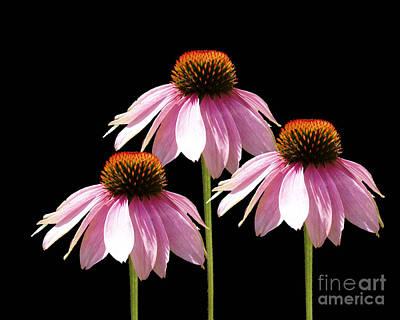 Floral Arrangement Digital Art - Triple Purple Echinacea Flowers  by Cathy  Beharriell