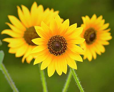 Sunflowers Photograph - Triple Sunflowers by Dennis Nelson