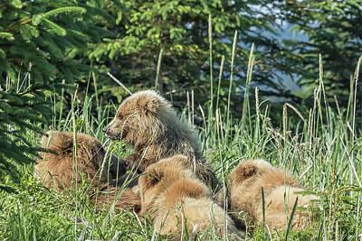 Photograph - Triplet Bear Cubs Nursing, No. 3 by Belinda Greb