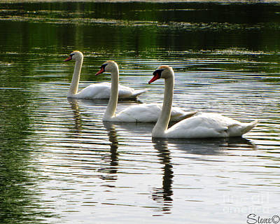 Photograph - Triplet Swans by September  Stone