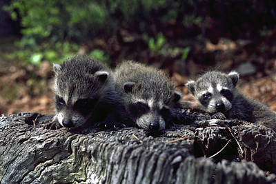 Art Print featuring the photograph Triplets by Sally Weigand